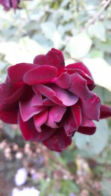 rose 5.jpg