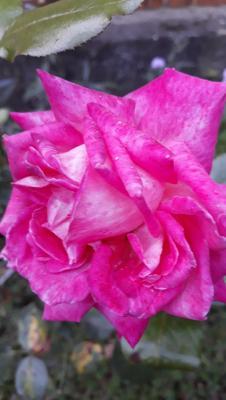 rose 6.jpg